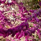 いっそう濃い紫に💞レウカンサ😙