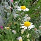 カモミール 今回は花が大きい