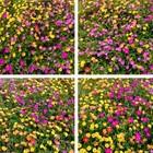 通りすがりの道路沿いの花壇に咲いてい...