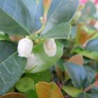 チェッカーベリーに小さな花が咲きました。