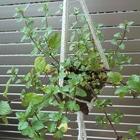 9/16 小さな植木鉢に無造作に挿したチョ...