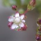 クラッスラ リトルミッシーの小さなお花...