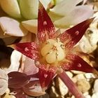 マクドガリー、遂に開花🌸 渋い花ですね...
