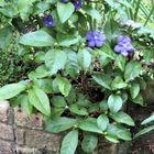 🌻小道の入口で側面で咲くニオイバンマツ...