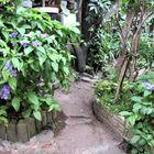 🌻小道の入口で咲くニオイバンマツリの花...