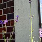 長崎ラベンダー、少しだけ咲いています...
