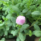 ポーチュラカの蕾  今日は花開けるかな ...