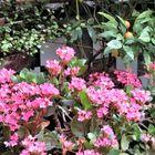 小さな花が咲き開いた赤いカランコエの...