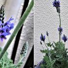 レースラベンダー(四季咲)の花拡大撮り
