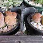 リトープスです。  左:Lithops aucampi...