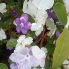 ニオイバンマツリ  📷5月18日    紫から...
