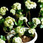 2年目に突入した白の『八重咲きカラン...