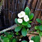 ハナキリン ユーフォルビア 白花