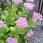 ベンケイソウのピンクは、明るい希望の色。