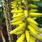 アロエベラの花の