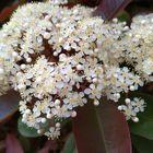 レッドロビンの花!塊になって咲く為、...