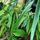 サーベルファイカス(フィカス)−竹色と深...