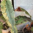Euphorbia ingens Marmorata - マリババ...