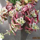 クラッスラ属・ペルシダに花が咲きました❀