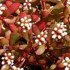 紅稚児の花💕 小さな花が大好きです。