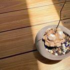 亀甲竜 今年はなぜか夏に葉が伸び始める...