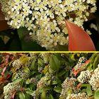 ベニカナメモチ  小さな花がたくさん集...