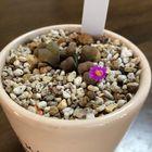 フジツボちゃんの花。可愛い!