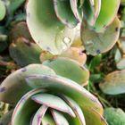 「カランコエ」もうすぐ花が咲きます。