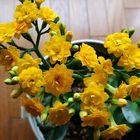 《八重咲きカランコエ》 最後に咲いた黄...