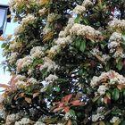 近所の街路樹が珍しいカナメモチ。こち...