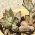 今年1月に植えた黑兎耳です。  5月15日