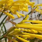 キルタンサス  スリムでユニークな花姿です