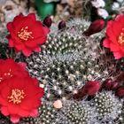 🌻サボテン(レブチア・宝山)の花... 🔶蕾を...