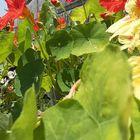 「ナスタチウム」 今が盛り、種から育て...