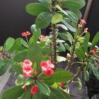 赤花キリンは日当たりの良い室内でほぼ...