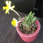 オトンナ クラビフォリアが開花中。大き...
