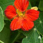 茎、葉、花がハーブとして食用に使われ...