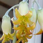 折鶴 古い花は取れやすいので、全部が開...