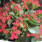📷これから花盛りの赤いカランコエの花