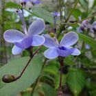 クレロデンドルム 青い蝶みたいです