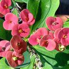 花キリン  この植物は凄いんです 不思議...