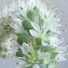 子持ちレンゲの花です2019年