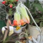 コチレドン 福娘のお花