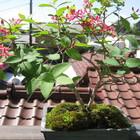 瓢箪木の赤花です。挿し木して3年目結...