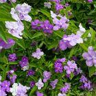いい香り😊 紫色から白色 グラデーション...