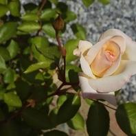 バラ(ブッシュ・ローズ) 写真