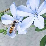 ルリマツリ(プルンバゴ) 写真