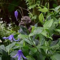 クレマチス(四季咲き) 写真