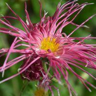 古典ギク(古典菊) 写真