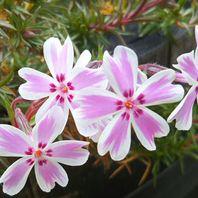 シバザクラ(芝桜) 写真